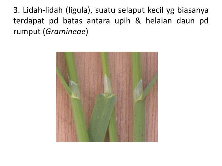 3. Lidah-lidah (ligula), suatu selaput kecil yg biasanya terdapat pd batas antara upih & helaian daun pd rumput (