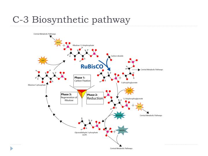 C-3 Biosynthetic pathway