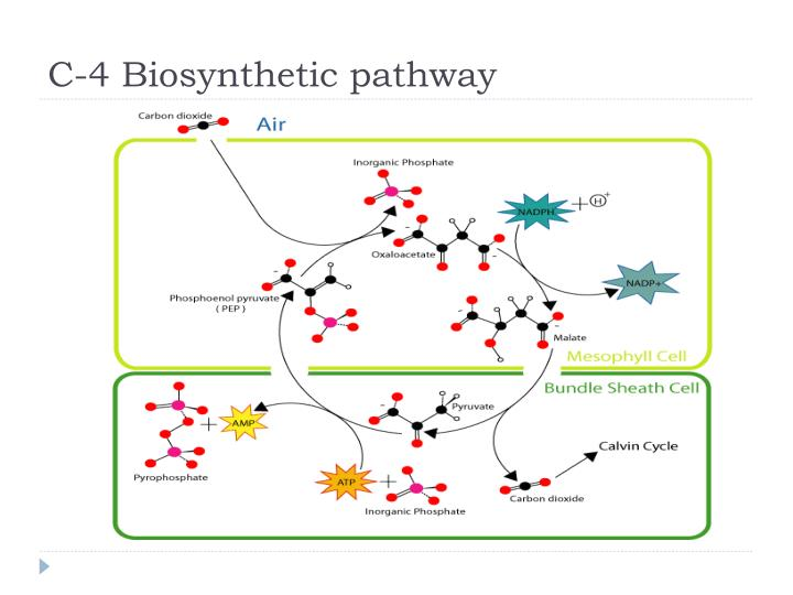 C-4 Biosynthetic pathway