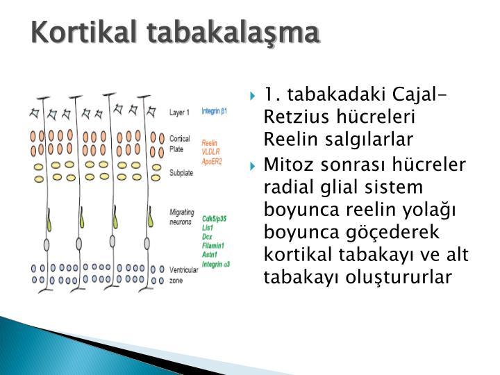 Kortikal tabakalama
