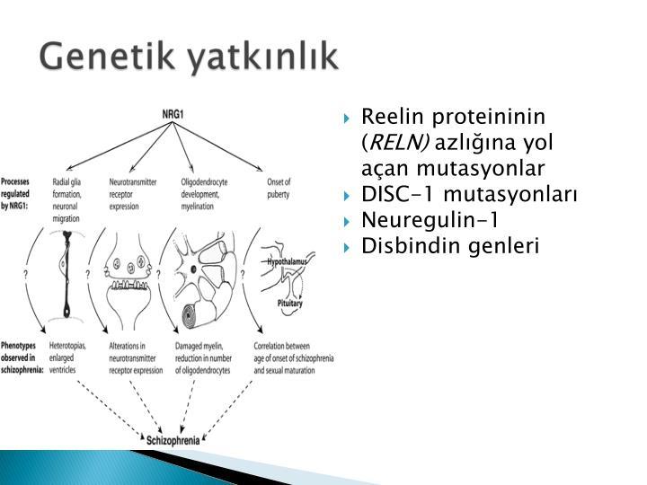 Reelin proteininin (
