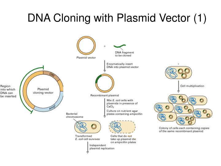 Cloning Dna May Ppt - Www imagez co
