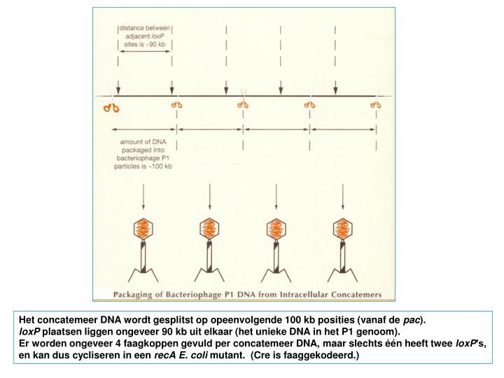 Het concatemeer DNA wordt gesplitst op opeenvolgende 100 kb posities (vanaf de
