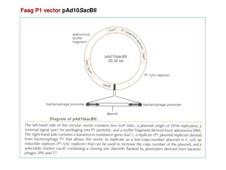 Faag P1 vector