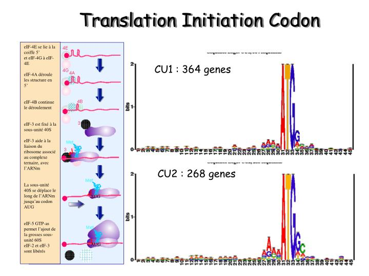Translation Initiation Codon