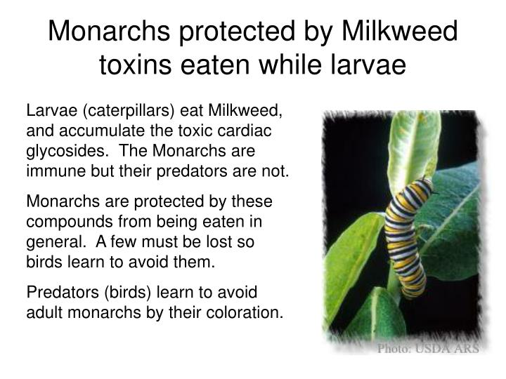 Monarchs protected by Milkweed toxins eaten while larvae