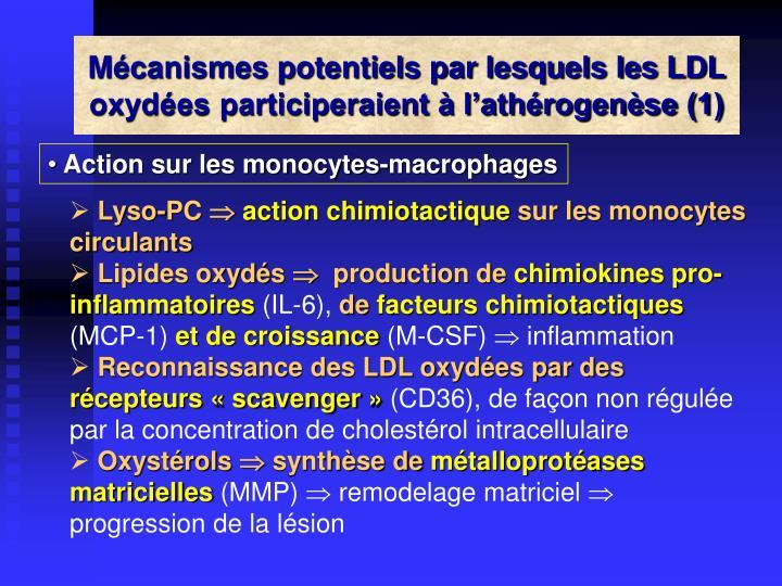 Mécanismes potentiels par lesquels les LDL oxydées participeraient à l'athérogenèse (1)