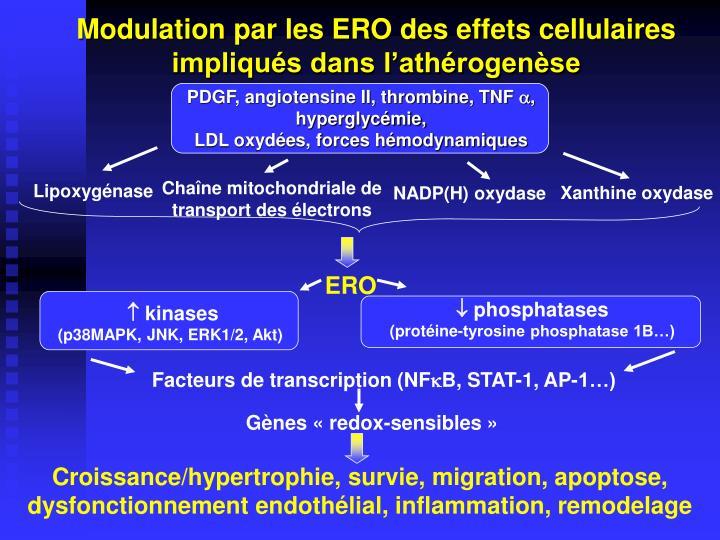 Modulation par les ERO des effets cellulaires impliqués dans l'athérogenèse