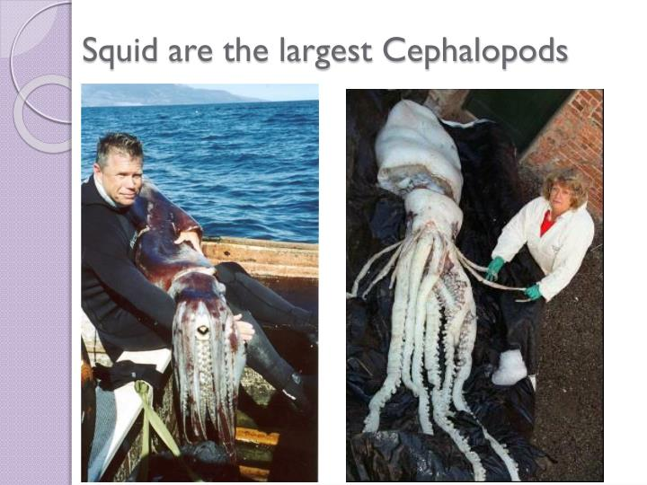 Squid are the largest Cephalopods