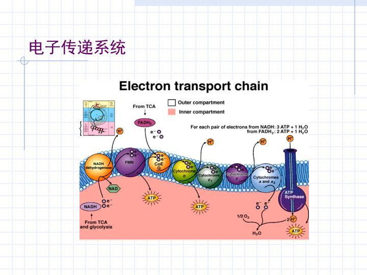 电子传递系统