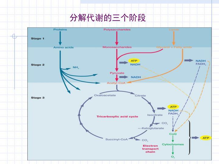 分解代谢的三个阶段