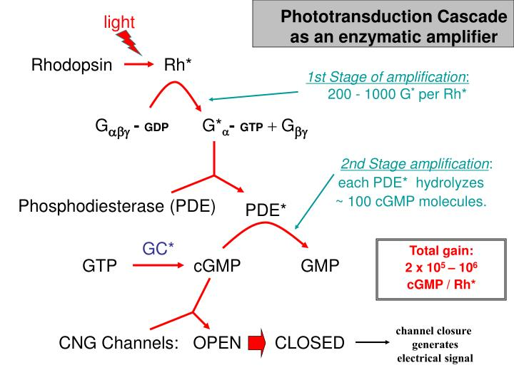 Phototransduction Cascade