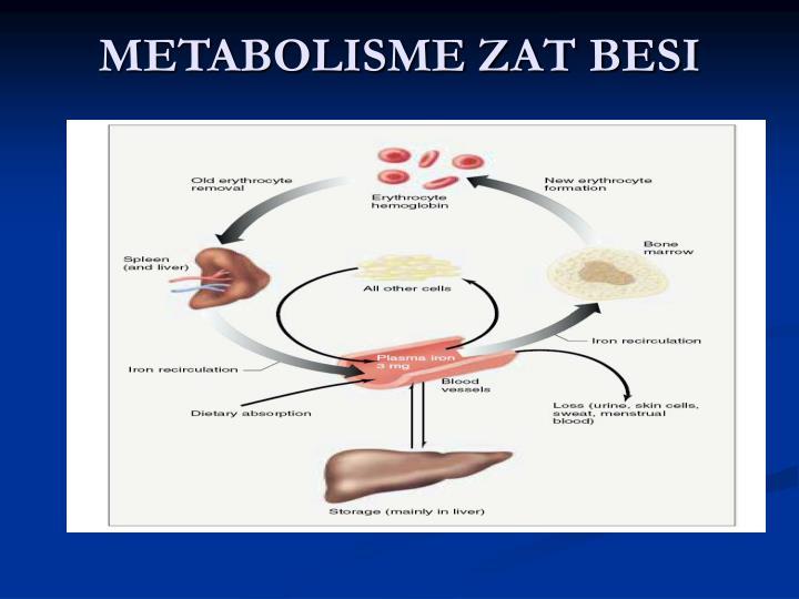 METABOLISME ZAT BESI