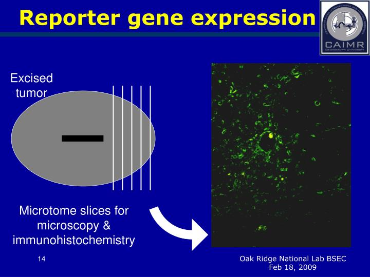 Reporter gene expression