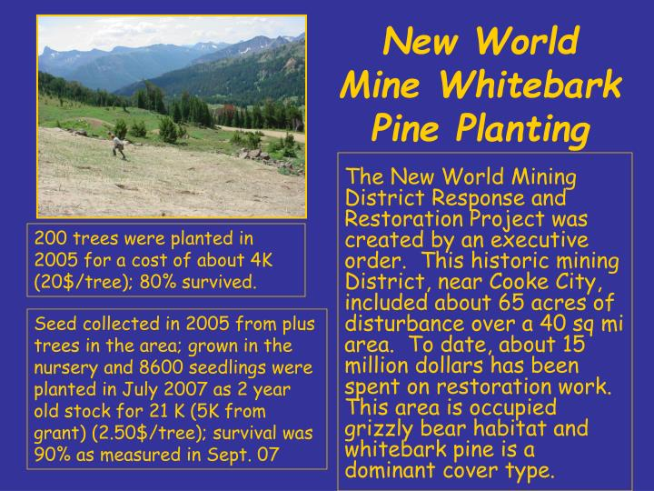 New world mine whitebark pine planting