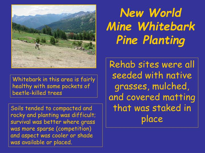 New world mine whitebark pine planting1