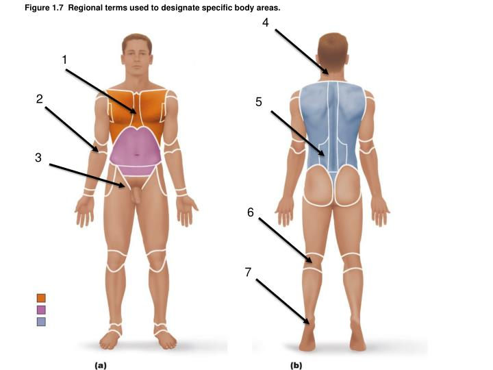 Figure 1.7  Regional terms used to designate specific body areas.