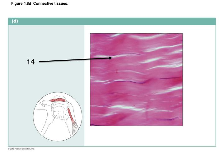 Figure 4.8d  Connective tissues.