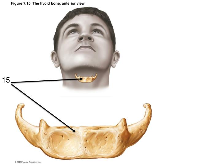 Figure 7.15  The hyoid bone, anterior view.
