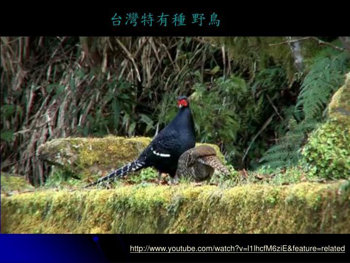 台灣特有種 野鳥