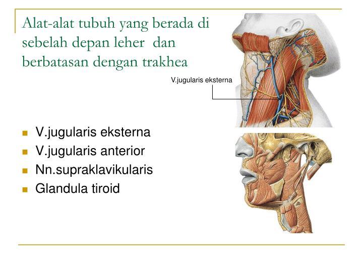 V.jugularis e