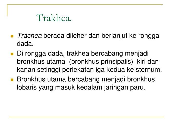 Trakhea