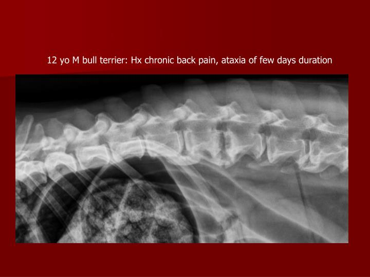 12 yo M bull terrier: Hx chronic back pain, ataxia of few days duration