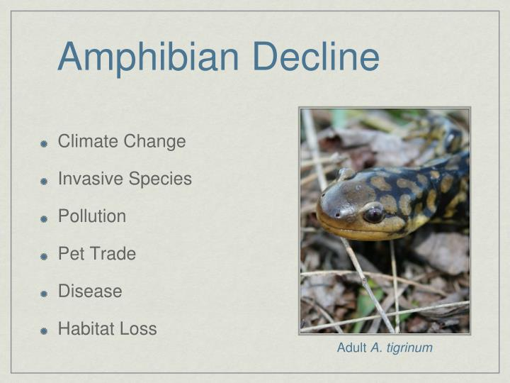 amphibian decline The most heavily used herbicide in the united states makes hermaphrodites of male frogs at concentrations commonly found in the environment, a new laboratory study reports its authors urge looking more closely at the possible role of atrazine and similar pesticides in amphibian declines, although a.