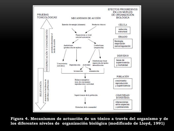 Figura 4. Mecanismos de actuación de un tóxico a través del organismo y de los diferentes niveles de  organización biológica (modificado de Lloyd, 1991)