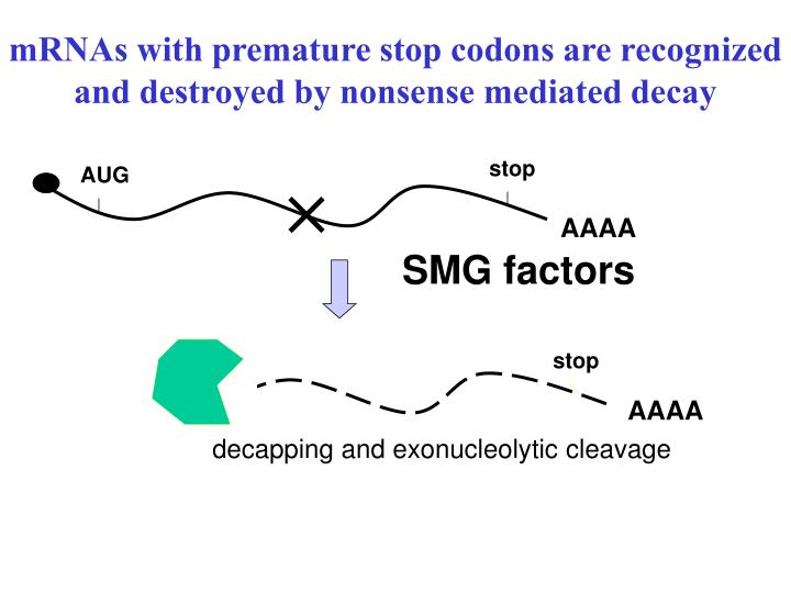 mRNAs with premature stop codons are recognized and destroyed by nonsense mediated decay
