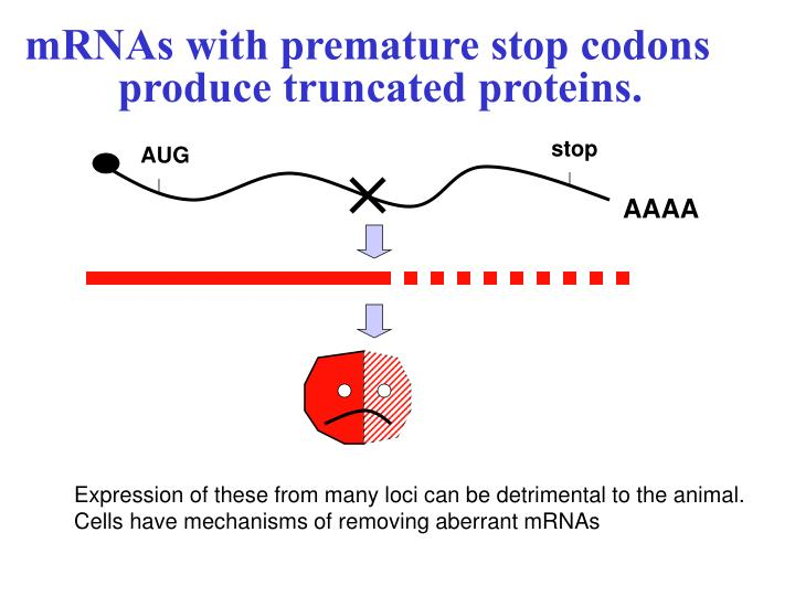 mRNAs with premature stop codons produce truncated proteins.