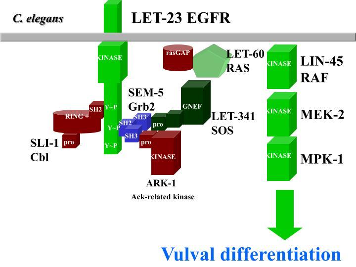 LET-23 EGFR