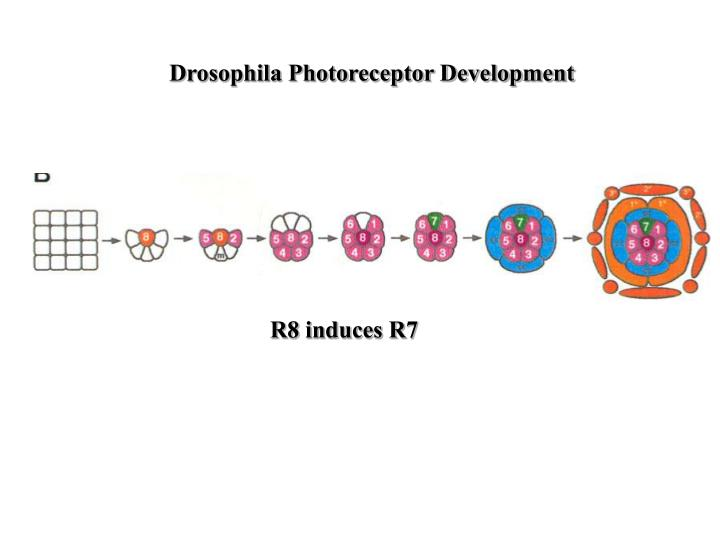Drosophila Photoreceptor Development
