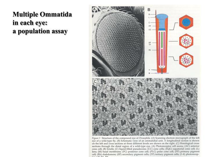 Multiple Ommatida