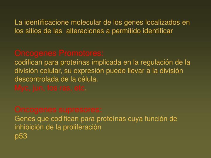 La identificacione molecular de los genes localizados en los sitios de las  alteraciones a permitido identificar