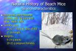 natural history of beach mice general characteristics