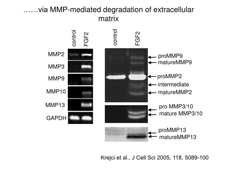 ……via MMP-mediated degradation of extracellular matrix