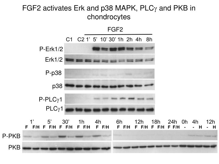 FGF2 activates Erk and p38 MAPK, PLC