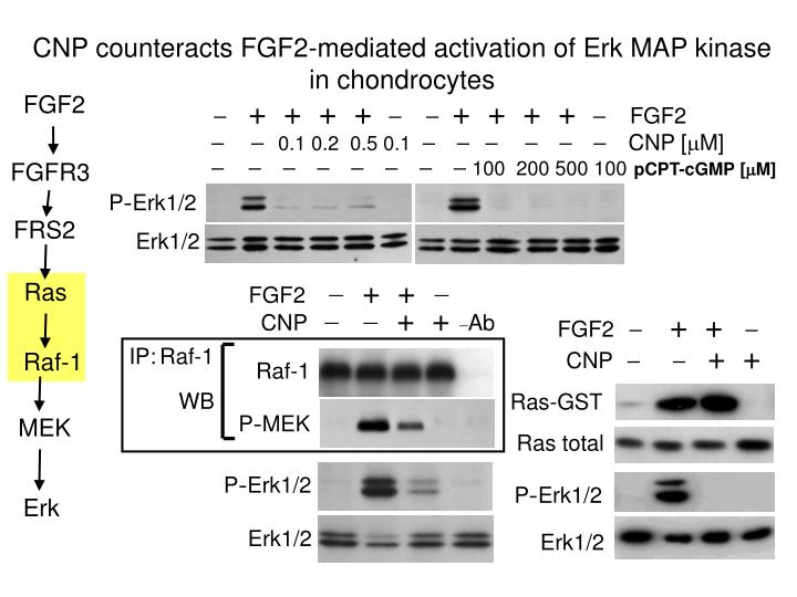 CNP counteracts FGF2-mediated activation of Erk MAP kinase in chondrocytes