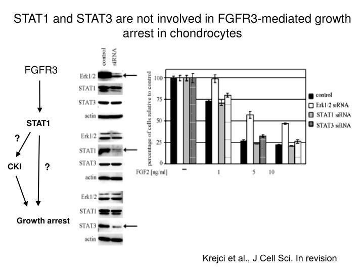 STAT1 and STAT3 are not involved in FGFR3-mediated growth arrest in chondrocytes