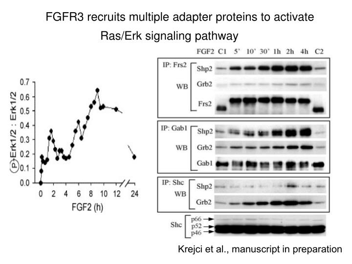 FGFR3 recruits multiple adapter proteins to activate Ras/Erk signaling pathway