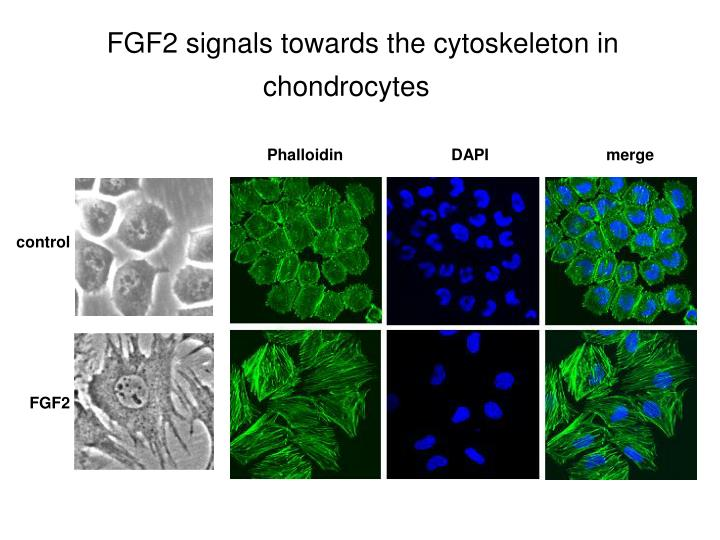 FGF2 signals towards the cytoskeleton in chondrocytes