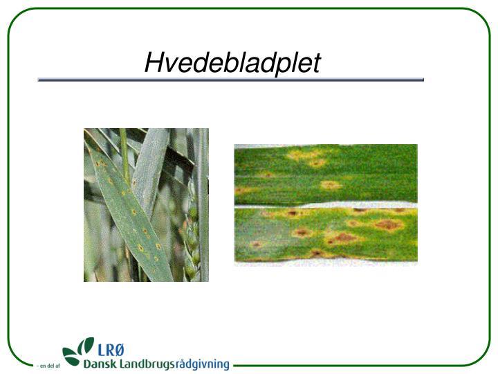 Hvedebladplet