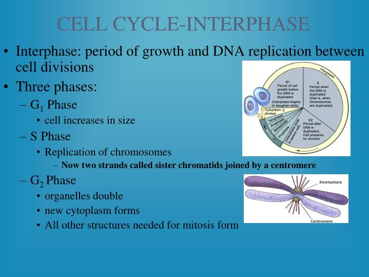 CELL CYCLE-INTERPHASE