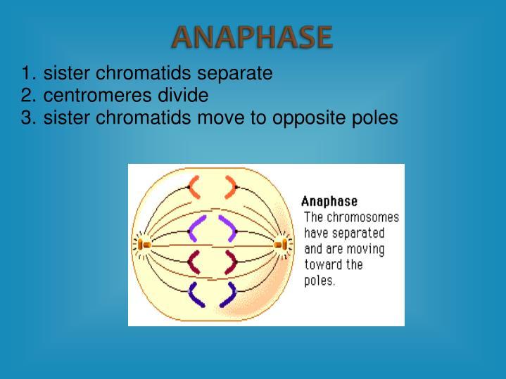 sister chromatids separate