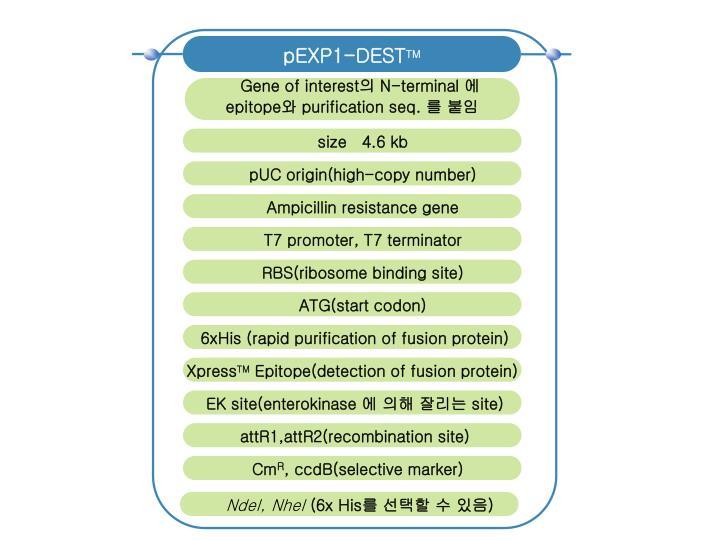 pEXP1-DEST