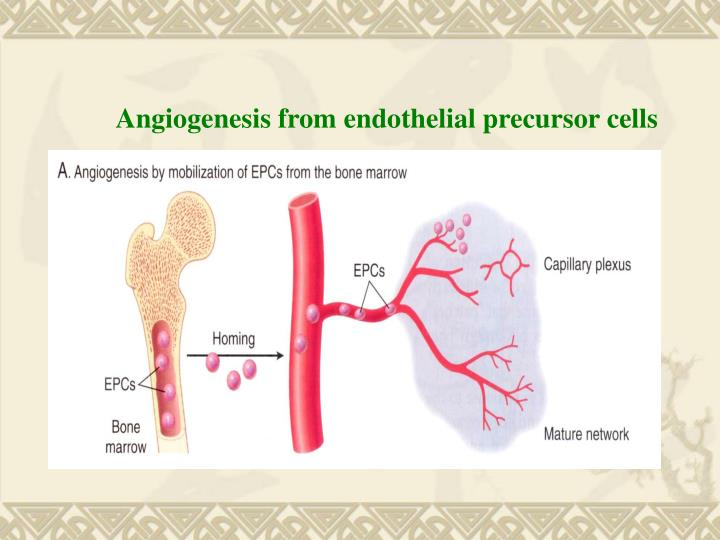 Angiogenesis from endothelial precursor cells