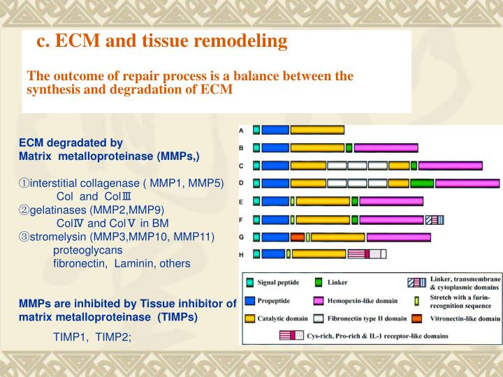c. ECM and tissue remodeling