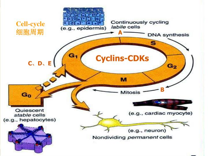 Cell-cycle