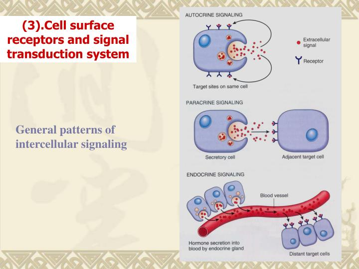 (3).Cell surface receptors and signal transduction system